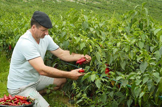 Récolte piment d'Espelette Bipertegia